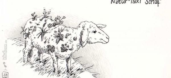 Natur-Taxi - das Schaf, wertvoll für Flora und Fauna - Daily Illu Tag 44
