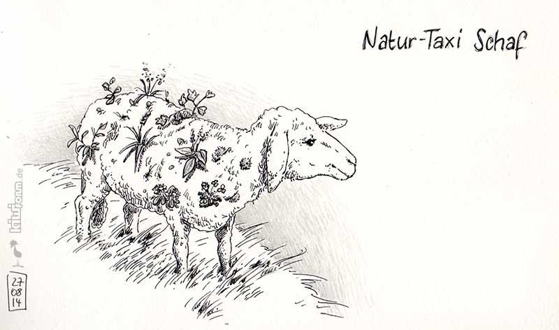 Natur-Taxi Schaf, wertvoll für Flora und Fauna - Daily Illu Tag 44